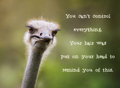 Ostrich Having A Bad Hair Day Royalty Free Stock Photo - 91928065