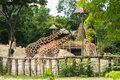 A Group Of Giraffes Eating At Budapest Zoo And Botanical Garden Stock Photo - 91951100