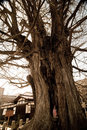 Old Tree At Hida Kokubunji Temple Stock Photos - 91951493