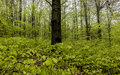 Beech Forest In Spring With Young,  Leaves As A Background Royalty Free Stock Images - 91989839