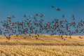 MARCH 7, 2017 - Grand Island, Nebraska -PLATTE RIVER, UNITED STATES Migratory Sandhill Cranes Fly Over Cornfield At Sunrise As Par Stock Images - 91996514