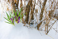 Crocuses In Snow Royalty Free Stock Photography - 9202697
