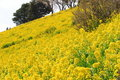 Rape Blossoms At A Slope Stock Images - 9202824