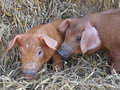 Cute Piglets Royalty Free Stock Photo - 9207205