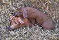 Cute Piglets Stock Image - 9207231