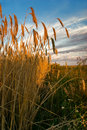 The Field Of Rye Stock Photography - 9209382