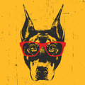 Portrait Of Doberman Pinscher With Glasses. Stock Photography - 92062942