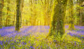 Sun Shines Through Beech Trees Illuminating A Carpet Of Bluebell Royalty Free Stock Photography - 92080017