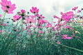 Pink Cosmos Flowers Garden, Soft Focus And Retro Film Stock Image - 92111011
