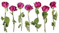 The Drying-up Dead  Pink Roses From A Wedding Bouquet. Royalty Free Stock Image - 92112336