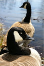 Canadian Geese Royalty Free Stock Image - 9221826