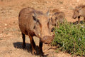 Warthogs On The Move Royalty Free Stock Image - 9224456