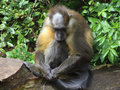 Golden-bellied Mangabey Royalty Free Stock Images - 92226929