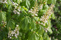 Chestnut Tree In Bloom, White Flowers Stock Image - 92243491