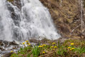 Mother-and-stepmother Yellow Flowers Waterfall Spring Royalty Free Stock Photo - 92274955