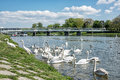 Beautiful Swans – Cygnus On The River Side With Bridge, Piesta Royalty Free Stock Images - 92342779