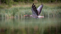 Greylag Goose Stock Images - 92395194
