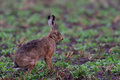 Brown Hare On The Field Stock Images - 92400394