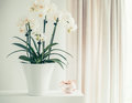 White Orchid Plant With Flowers In Pot On Window Still, Front View. Houseplants Decoration Royalty Free Stock Photography - 92408377