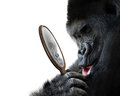 Curious Gorilla Looking At His Handsome Self Reflection In Mirror And Smiling Lovingly Stock Photo - 92440190