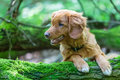 Nova Scotia Duck Tolling Retriever In The Forest Stock Images - 92479234
