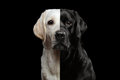 Portrait Of Two-faced Labrador Dog Stock Photography - 92483162