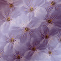 Purple-white Floral  Background. White Large  Flowers  Cherry.  Floral Collage.  Flower Composition. Stock Photo - 92567730