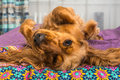English Cocker Spaniel Is Lying On Bed Royalty Free Stock Photos - 92647348