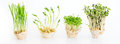 Growing Microgreens On White Background With Free Space For Text. Healthy Eating Concept Of Fresh Garden Produce Stock Images - 92650754