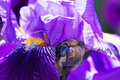 Iris In Bloom Royalty Free Stock Photography - 92707587
