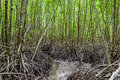 Mangrove Forest At Nature Preserve And ForestKlaeng At Prasae, Stock Photo - 92708070