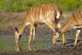 Nyala Female South Africa Stock Photo - 92725110