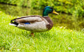 Mallard Male Duck Royalty Free Stock Photography - 92728817
