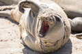 Juvenile Northern Elephant Seal Bull Mirounga Angustirostris Hawl Out During Molting Season. Stock Photography - 92784552