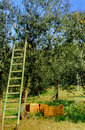 Ladder At Olive Tree Stock Images - 9282064