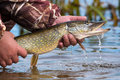 Open-mouthed Large Pike With Drops Of Running Water In The Fisherman`s Hand.Catch And Release Fishing. Royalty Free Stock Image - 92810366