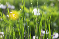 Morning Dew In The Grass Closeup, Bright Nature Morning Water Dr Royalty Free Stock Photography - 92971427
