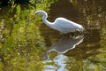 Great Egret Wading With A Branch In Its Bill In Florida. Stock Photo - 92985070