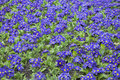 Blue Primrose On The Lawn As A Garden Ornament Stock Images - 92992654