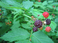 Wild Blackberries Stock Photos - 935063