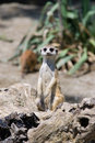 Meerkat Royalty Free Stock Images - 939819