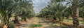 Very Large Panoramic View Of Palm Trees Grove At Northern Israel Royalty Free Stock Photo - 93007035