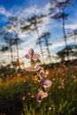 Soft Focus Sweet Purple Flowers And Pine Tree Forest With Sunset Light On Phu Soi Dao National Park, Thailand Stock Images - 93027374