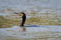 Cormorant Royalty Free Stock Photography - 93039707