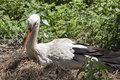 Stork In The Nest Royalty Free Stock Photography - 93045607
