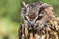 Real Owl, Bubo Bubo Royalty Free Stock Photos - 93049428