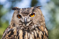 Real Owl, Bubo Bubo Royalty Free Stock Photos - 93050228