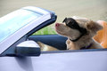 Dog With Goggles Drives A Cabriolet Stock Image - 93083871
