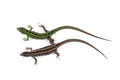 Female And Male Of Sand Lizard Lacerta Agilis Isolated On Whit Royalty Free Stock Image - 93102236