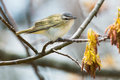 Red-eyed Vireo Royalty Free Stock Image - 93120886